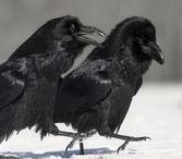 crow and the raven <3