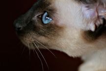The cats that own me / There is nothing like Siamese  / by Einat Zobel