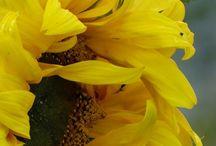 Mis Girasoles..... / Atrapando el sol.......................
