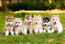 Huskies ♡ / Keep calm and love Huskies!
