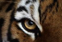The Majesty of Tigers ....  / A Tiger is something so magical and so incredibly stunning to look at I had to dedicate a board just for them ...  / by Karen Leah