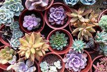 cactus y suculentas / arreglos jardin