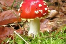 Pilze aus dem Pfälzer Wald / Gefunden und abgelichtet im Pfälzer Wald. ...aber Achtung, manche sind nicht bekömmlich, andere hingegen vortrefflich.