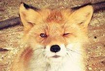 Fox ja muita eläimiä