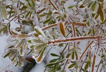 Идеи для сада, вечнозеленая изгородь / Садовые растения для живой изгороди, зеленые круглый год. Немногие растения сохраняют листву зимой в средней полосе России.
