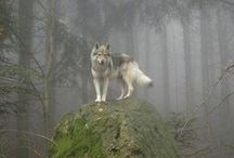 ~Wolves for Kylee~ / This is for a special girl I love very much! / by Debbie Huggins