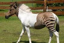 horses pintaloosa