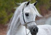 horses arabians