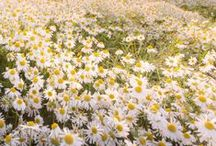 Dreamy Daisies / Follow me if you like it! :)