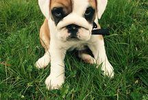 "Bulldogs anglais ""lulu "" / Bulldogs anglais"