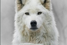Dogs and wolves / Dogs, wolfs, foxes.