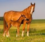 Equine Breeding & Reproduction / Information for breeding mares and stallions, plus foaling and foal care.