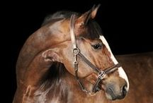 Horse Anatomy / Information on horse anatomy, physiology, and conformation.