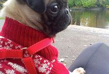 Pugs! / all about pugs