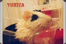 guinea pig <3