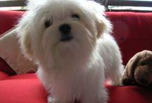 Vicho / Maltese dog