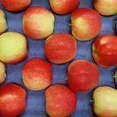 Apples / Domestic apple season is in full swing. Explore the delicious and beautiful varieties of apples available throughout the season.