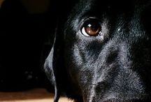 Black Dogs Never Get Dirty / Black dogs and cats are just as wonderful and adorable as their lighter colored counterparts, but have a hard time finding homes due to subconscious negative associations and outdated stereotype and superstitions. Screw that. Black is beautiful.