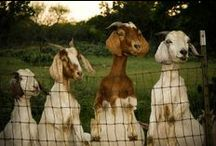 Get My Goats!