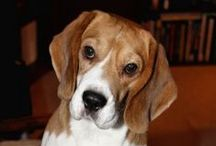 Ryklovic Beagles / Ben & Guf, our beagles from Czech Republic. For all the Beagle fans!