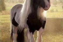 Gypsy Vanner Horses / Gypsy Vanner Horses