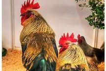 Plumas de gallo de León / Las plumas de mejor calidad y más apropiadas para la elaboración de las moscas de pesca.