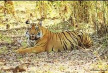 Explore Todoba-Andhari Tiger Reserve with Svasara Jungle Lodge / The #Todoba-Andhari #TigerReserve is considered to be a leading #wildlife #NationalPark in #Maharashtra easily connecting with the other major national parks like #Pench, #Satpura, #Kanha and #Bandhavgarh. #SvasaraLodge is at a 2 hours drive from #Nagpur. Svasara Resorts is really concentrating its energies in providing wildlife enthusiasts a complete wildlife #experience. A #RareIndia #JungleLodge  Inquire at - info@rareindia.com   #Explore More: http://bit.ly/1s7F7gP