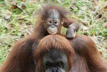 Gone Ape / Celebrating our amazing gorillas and orangutans! / by Zoo Atlanta