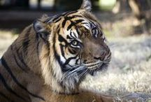 Mane Attraction / In the tracks of our fabulous felines. / by Zoo Atlanta