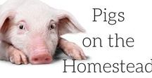|| Pigs on the Homestead || / All things piggy on your homestead. Bacon, ham, swine, piglets, pig pen, free range pigs, free range pork, pigs farming, pig pens, pig livestock, pigs farming country life, pig pen ideas, raising pigs in your backyard, keeping pigs, raising pigs for meat,