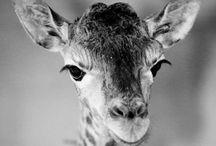 GiraffeObsessed.