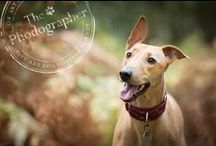 Greyhounds / Greyhounds -  our pointy friends