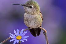 Vögel - Kolibri / Kolibris und Elfen sind die Edelsteine der Lüfte und faszinieren mit ihrem Schwirrflug.