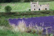 lavender lawenda lavanda / lavender lawenda lavanda