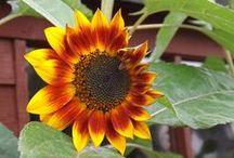Sunflowers / Sharing a bit of sunshine!