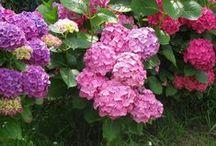 Hydrangea passion.... / Hortensias y lavanda...mis flores favoritas.