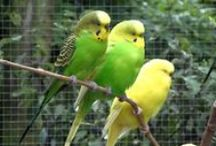 Parkieten-Online.nl - Budgies - Parakeets / www.parkieten-online.nl