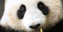 De Pandabeer - Giant Panda's / Alles over de Pandabeer. http://www.dierenplaza.nl/pandabeer