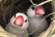 Rijstvogels -  Java Sparrow / Rijstvogels - Java Sparrow http;//www.volierevogels-online.nl