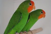 Lovebirds - Agapornissen