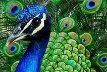 Peacock - Pauwen / Peacock - Pauwen