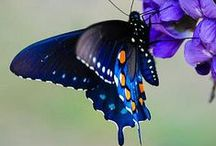 Butterfly's - Vlinders / Butterfly's - Vlinders op www.dierenplaza.nl