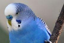 Budgies - Parakeets - Grasparkieten / Budgie - Parakeets