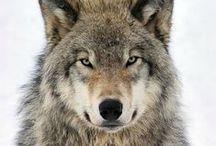 Wolves  - Wolven / www.dierenplaza.nl