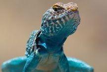 Reptiles  - Reptielen / Reptiles  - Reptielen