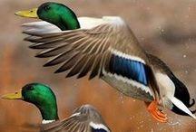 Ducks - Eenden / Ducks & Eenden www.dierenplaza.nl