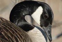 Goose - Ganzen / www.dierenplaza.nl