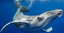 Whales  - Walvissen / Whales  - Walvissen http://www.dierenplaza.nl