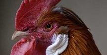 Roosters - Hanen Close up