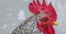 Chickens - Kippen - Hoenders - Pluimvee / Hens, Roosters and chicks